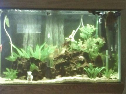 66 gallons freshwater fish tank (mostly fish and non-living decorations) - Full view of 66 gallon.  All plants are live exception of large one in back right corner.  