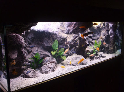 170 gallons freshwater fish tank (mostly fish and non-living decorations) - Malawi setup