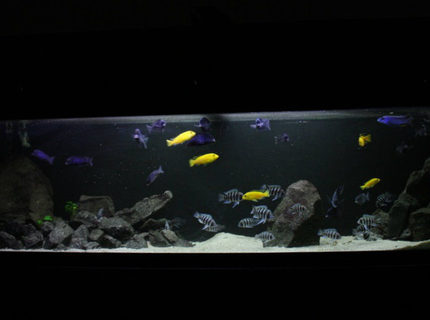 50 gallons freshwater fish tank (mostly fish and non-living decorations) - Frontosa 125g