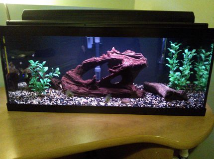 20 gallons freshwater fish tank (mostly fish and non-living decorations) - 20 gallon long Harlequin rasbora tank