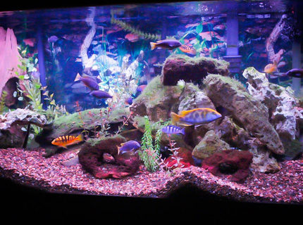 Rated #10: 90 Gallons Freshwater Fish Tank - 90 gallon African tank.