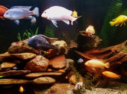 92 gallons freshwater fish tank (mostly fish and non-living decorations) - A new pic