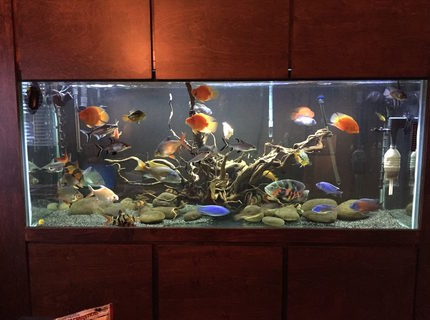 220 gallons freshwater fish tank (mostly fish and non-living decorations) - Custom Wall Cabinet