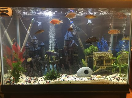 65 gallons freshwater fish tank (mostly fish and non-living decorations) - 65 gallon African Cichlids