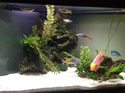50 gallons freshwater fish tank (mostly fish and non-living decorations) - Front view