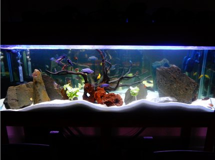 130 gallons freshwater fish tank (mostly fish and non-living decorations) - My Tank