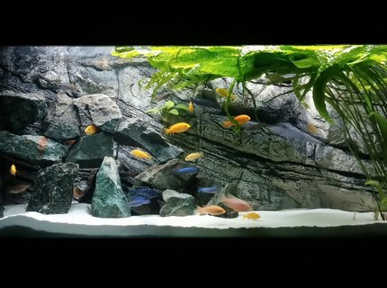 450 gallons freshwater fish tank (mostly fish and non-living decorations) - Mlawi tank