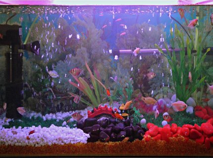 37 gallons freshwater fish tank (mostly fish and non-living decorations) - My First Fresh Water Aquarium(30 Gal)