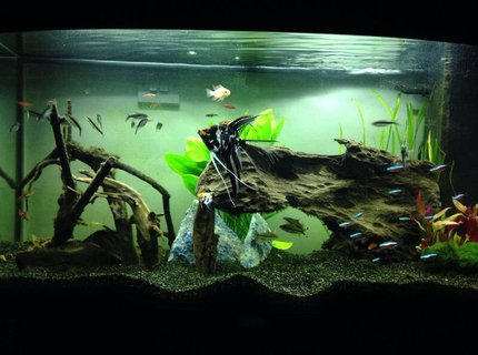 39 gallons freshwater fish tank (mostly fish and non-living decorations) - Angelfish and bogwood tank