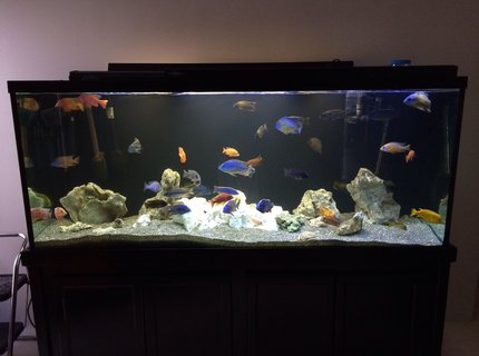 220 gallons freshwater fish tank (mostly fish and non-living decorations) - 220 gallon peacock and hap tank