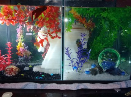 50 gallons freshwater fish tank (mostly fish and non-living decorations) - My babies. Red CombTail Betta & Blue CrownTail Betta.