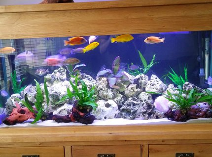 80 gallons freshwater fish tank (mostly fish and non-living decorations) - Malawi tank