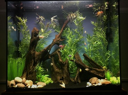 70 gallons freshwater fish tank (mostly fish and non-living decorations) - 70 gallon tall unplanted community tank
