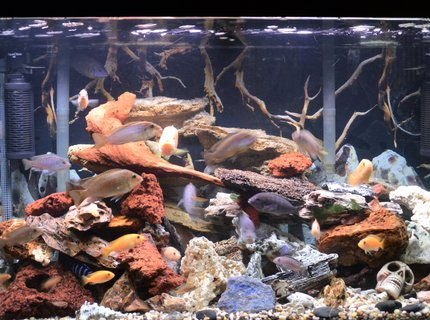 80 gallons freshwater fish tank (mostly fish and non-living decorations) - 80 gal malawi cichlids