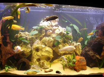260 gallons freshwater fish tank (mostly fish and non-living decorations) - malawi tank