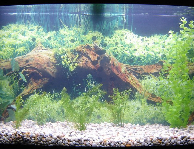 65 gallons freshwater fish tank (mostly fish and non-living decorations) - 3 Koi: one yamabuki ogon; one kohaku, too lazy to determine which variety; and a tancho kin kit utsuri but with a lot of black on it's back a white underbelly, most likely a mixed breed. I had to rearrange the live plants today to clean some of the decorations so the layout is rather poor. Most likely I'll have to rearrange it sometime once the live plants start growing bigger and I'll also need to properly attach the background.