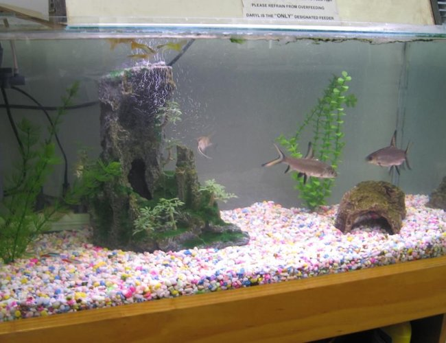 80 gallons freshwater fish tank (mostly fish and non-living decorations) - office tank