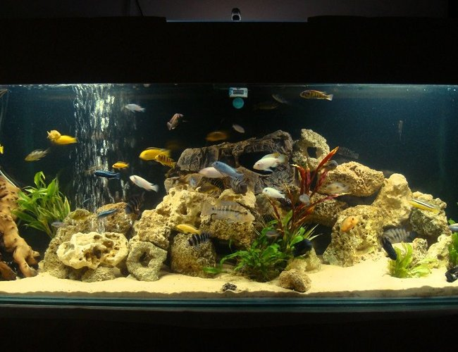 114 gallons freshwater fish tank (mostly fish and non-living decorations) - full view of my cichlid tank, i have close up pictures of my cichlids in my profile