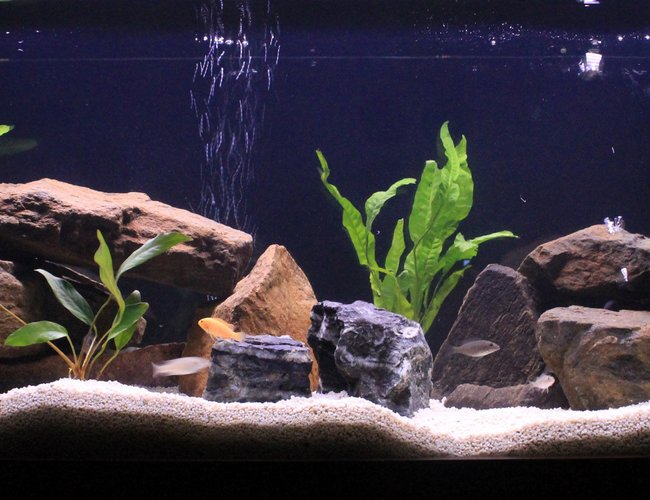 50 gallons freshwater fish tank (mostly fish and non-living decorations) - March's Malawi Tank