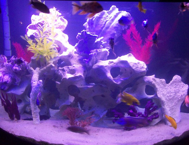 76 gallons freshwater fish tank (mostly fish and non-living decorations) - 76 gallon oceanic african cichlids texas holey rock fake plants and dead coral