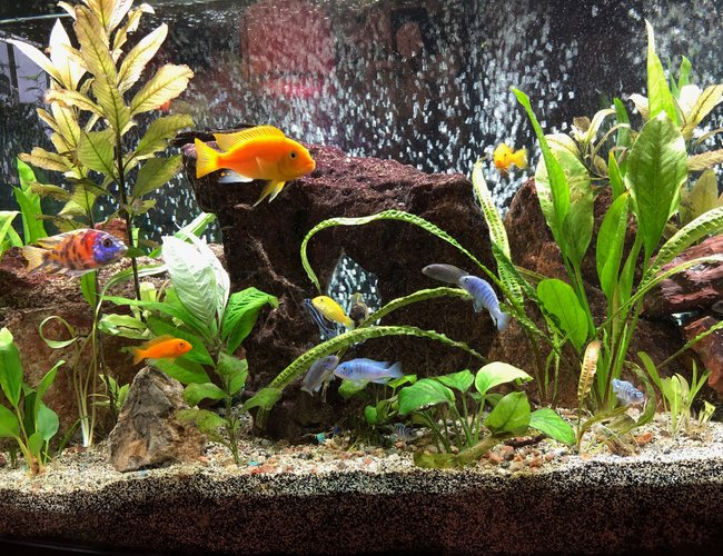 72 gallons freshwater fish tank (mostly fish and non-living decorations) - This in my 72-gallon bow-front Lake Malawi African Cichlid aquarium. Re-planed every few months to offset what they eat and what can't survive the high pH. It's been up and running for about 2.5 years. Kept as a hobby. I hope you enjoy it. Have a great day!