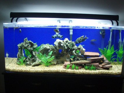 Rated #61: 75 Gallons Freshwater Fish Tank - Haps and Peacocks
