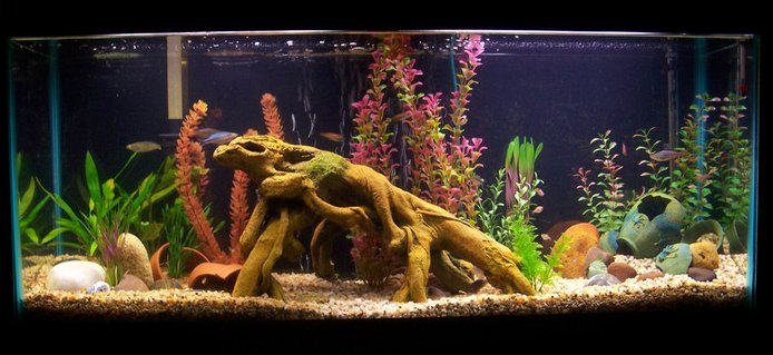 Rated #71: 55 Gallons Freshwater Fish Tank - 55 Gallon River-Bottom tank; Rainbowfish, Harlequin Rasboras, Emerald Cories