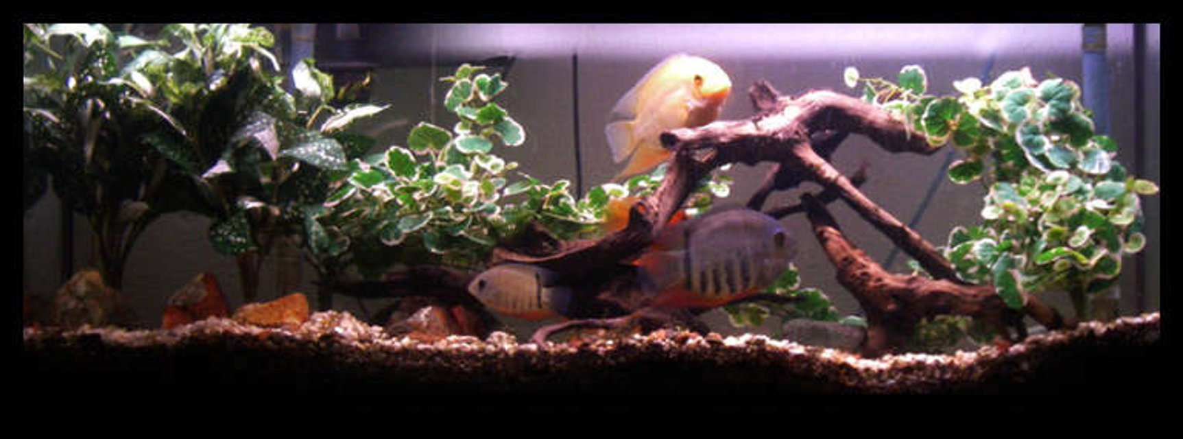 Rated #62: 55 Gallons Freshwater Fish Tank - 55 gallon setup, silk plants, driftwood and chiclids.