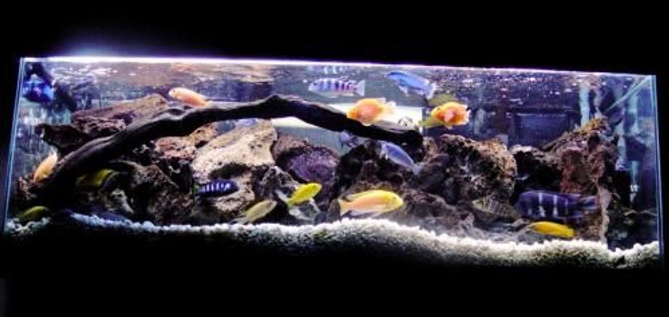 Rated #11: 60 Gallons Freshwater Fish Tank - More recent shot of my main African tank.