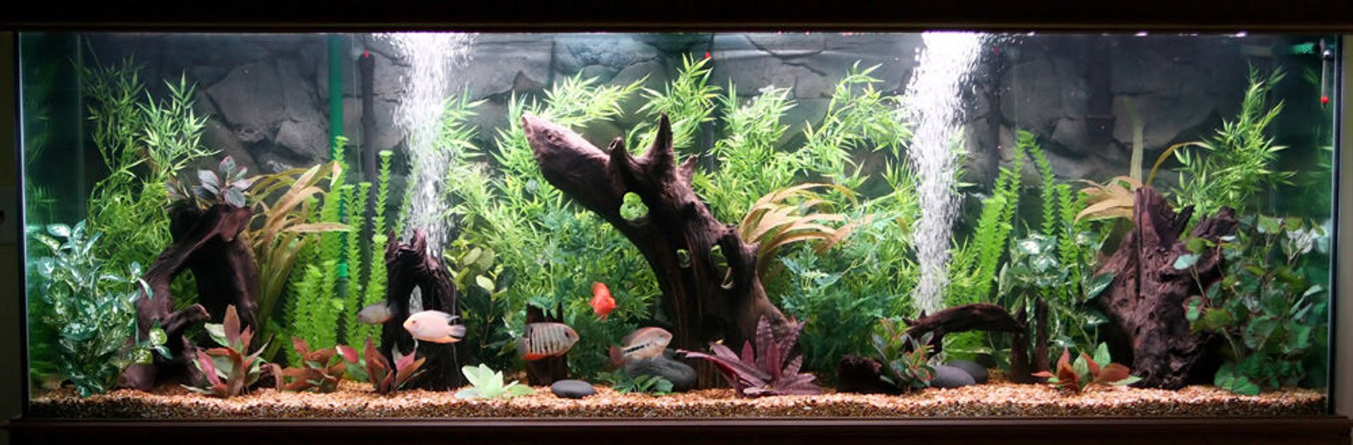 Rated #72: 300 Gallons Freshwater Fish Tank - 300 Gallon Central and South American Cichlid Tank.