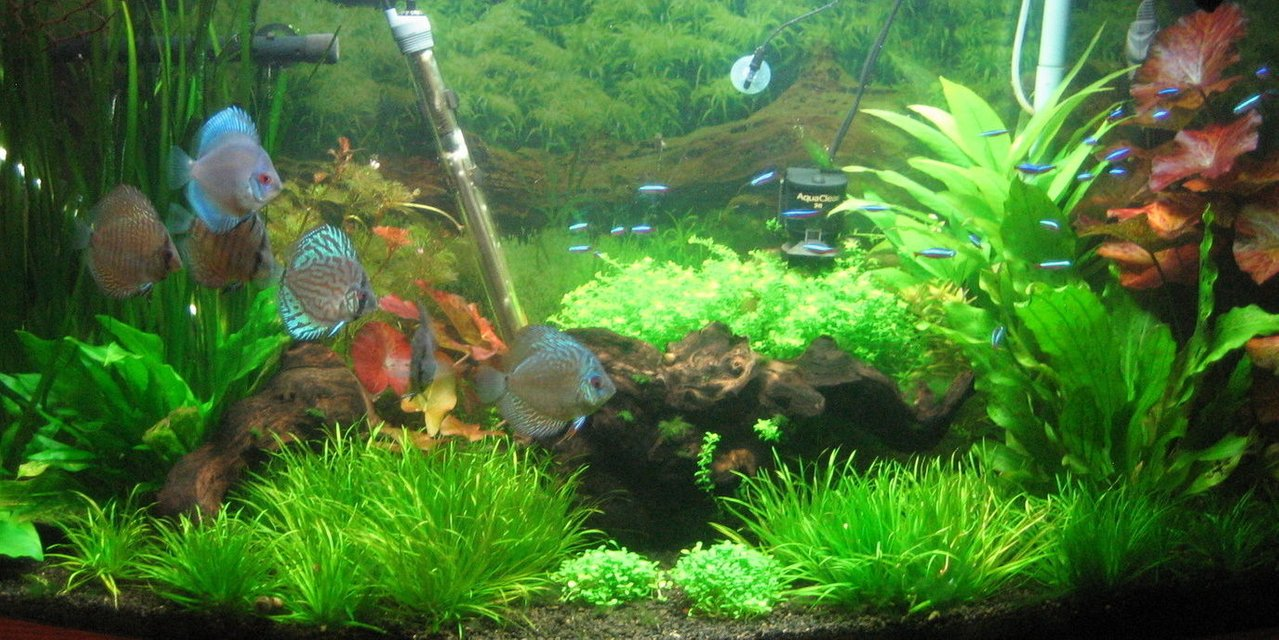 Rated #92: 72 Gallons Freshwater Fish Tank - Discus & Cardinals