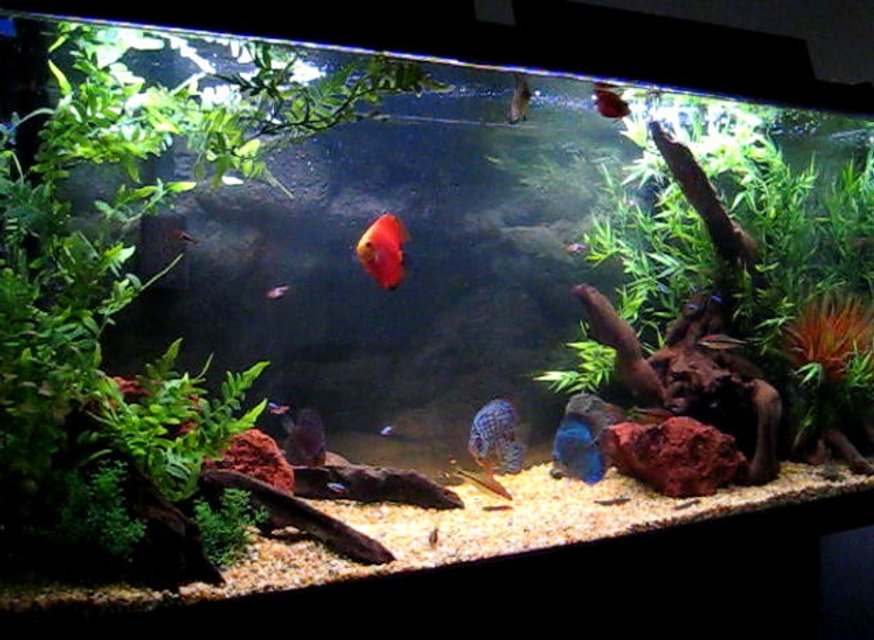 Rated #8: 80 Gallons Freshwater Fish Tank - 6 Discus (2 Red Fujis, Bulldog, Blue Tourque, Yellow Pigeon and 1 Red Leopard)