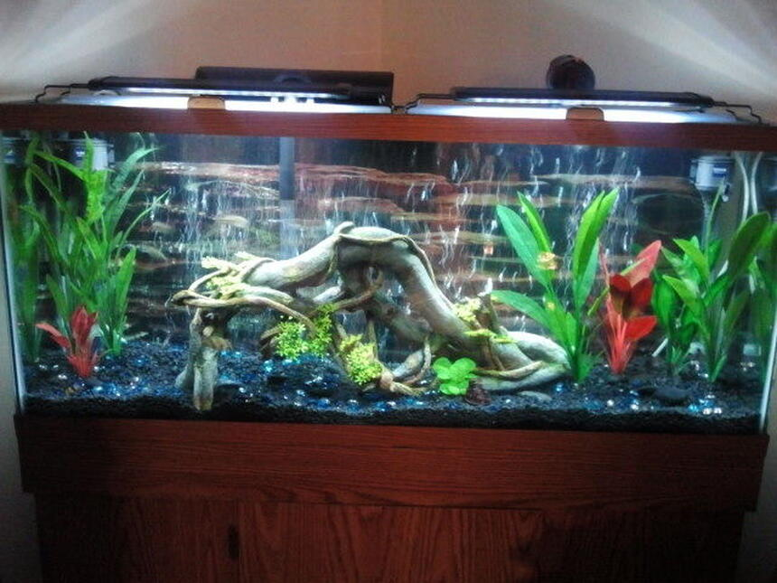 Rated #30: 55 Gallons Freshwater Fish Tank - My 55 gallon tank. I have 2 blue German rams, 6 diamond tetras and 2 bristlenose pleckos. I wanted to find some nice colorful fish thst get to be good size, other than ciclids or Oscars, that would work in this tank. Any and all input is greatly appreciated.