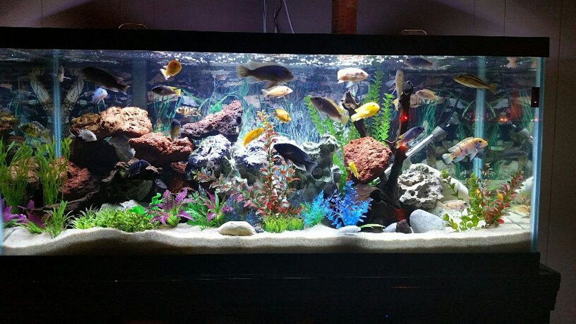 Rated #3: 75 Gallons Freshwater Fish Tank - 75 gallon mixed African cichlid tank containing about 30 fish and some fry.