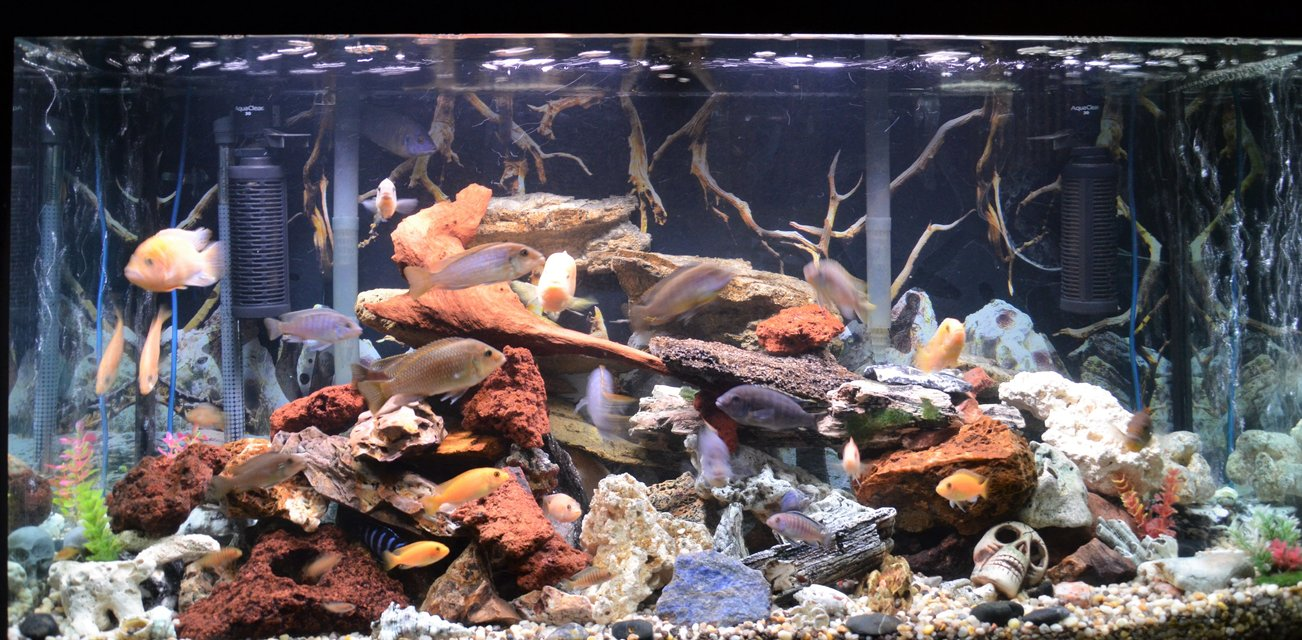 Rated #23: 80 Gallons Freshwater Fish Tank - 80 gal malawi cichlids