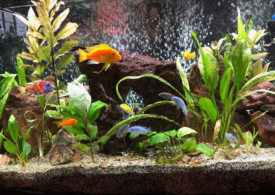 Rated #41: 72 Gallons Freshwater Fish Tank - This in my 72-gallon bow-front Lake Malawi African Cichlid aquarium. Re-planed every few months to offset what they eat and what can't survive the high pH. It's been up and running for about 2.5 years. Kept as a hobby. I hope you enjoy it. Have a great day!