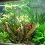 85 gallons freshwater fish tank (mostly fish and non-living decorations) - tiger fish aquarium
