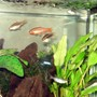 5 gallons freshwater fish tank (mostly fish and non-living decorations) - Eric Foreman and the Cherry Barbs