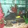 65 gallons freshwater fish tank (mostly fish and non-living decorations) - Side view of Cichlid tank.