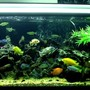 100 gallons freshwater fish tank (mostly fish and non-living decorations) - My 100 Gal Cichlid Tank