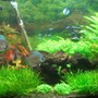 72 gallons freshwater fish tank (mostly fish and non-living decorations) - Discus & Cardinals
