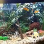 75 gallons freshwater fish tank (mostly fish and non-living decorations) - Front of tank. Tank is approx 3 months old. 75 gallon freshwater with fake plants and natural decor except sponge Bob