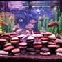 37 gallons freshwater fish tank (mostly fish and non-living decorations) - 37 gallon mixed cichlid tank