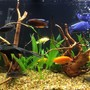 40 gallons freshwater fish tank (mostly fish and non-living decorations) - Cichlid tank, the pair of Red Zebra\'s have produced fry twice. The first set of fry counted over 55 There is also a pair of electric yellows that have produced fry three times. I strip the fry and let them grow in a 10 gallon aquarium. I then take them down to my favorite pet store and donate them. I figure it\'s just a hobby and it helps keep the local small business in business.