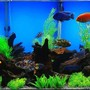 75 gallons freshwater fish tank (mostly fish and non-living decorations) - 75 Gal. Cichlid Tank