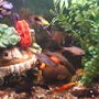 70 gallons freshwater fish tank (mostly fish and non-living decorations) - bac