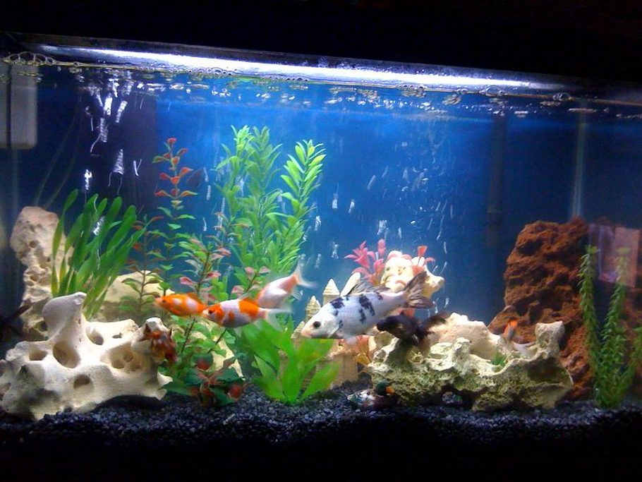 Tigertaylor 39 s freshwater tanks photo id 26242 full for Artificial koi fish for ponds