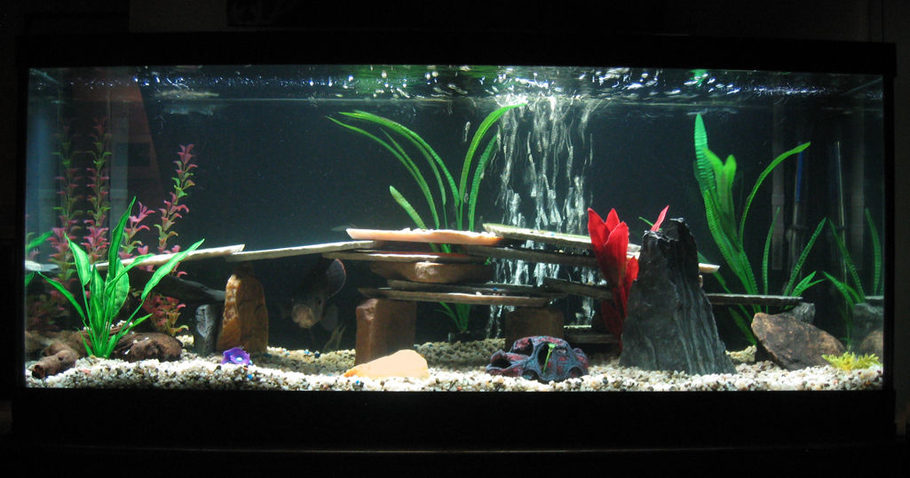 Can Betta Fish Go Blind moreover Show further Stuart Hawkins My Dual Oscar Tank also Keeping Arowana Fish moreover 36880. on oscar fish filtration