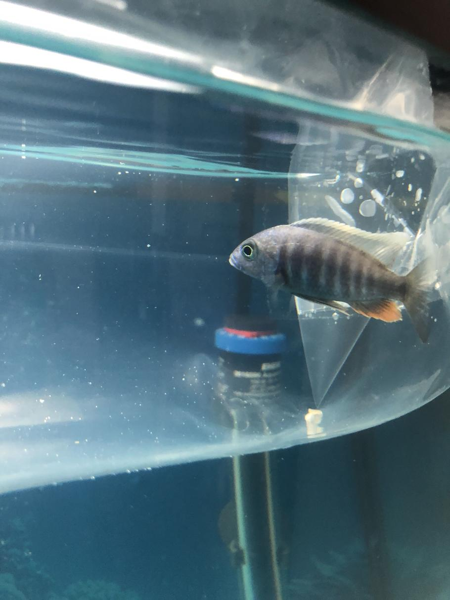 Name this fish for me please . I just got this in the fish store but forgot the name of the fish