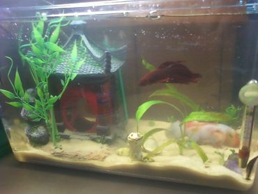 Breeding the Two Kinds of Betta Fish